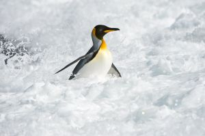 King penguin in surf, South Georgia.