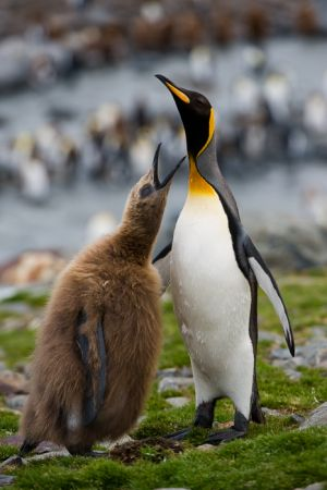 King penguin chick begging for food from adult, St. Andrews Bay, South Georgia.