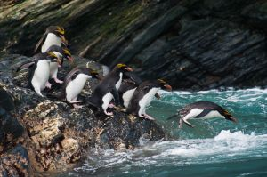 Macaroni penguins and heavy surf, Royal Bay, South Georgia.