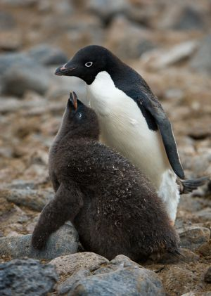 Adelie penguin and chick, Paulet Island.