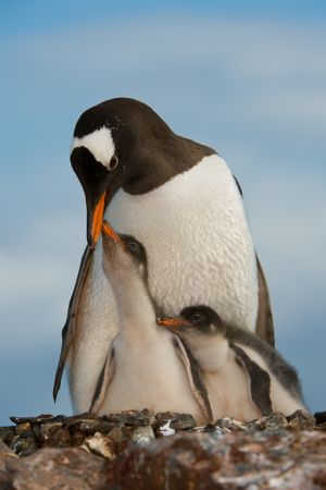 Gentoo penguin and chicks at nest site.