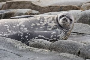 Weddell seal on rocky islet.
