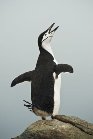 Chinstrap penguin doing