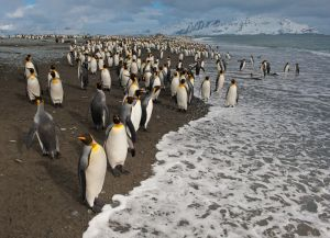 King penguins on the beach at Salisbury Plain, South Georgia.