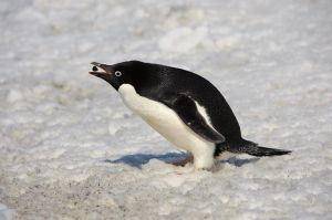 Adelie penguin picking up pebble for nest, Brown Bluff.