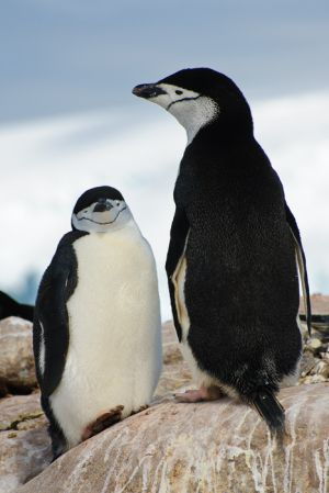 Chinstrap penguins on Hydrurga Rocks.