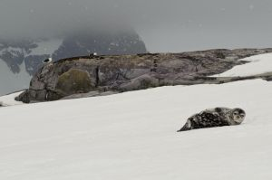 Weddell seal and kelp gulls near Pleneau Island.