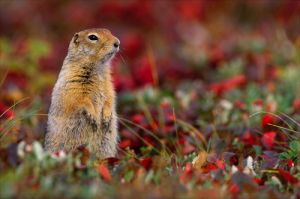 c46-arctic ground squirrel.jpg