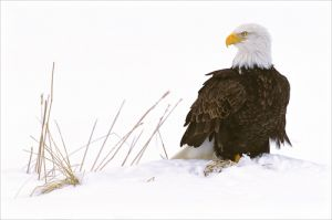 c81-bald eagle on snow 14x21.jpg
