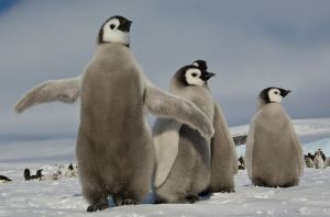 Emperor penguin chicks.
