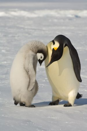 Emperor penguin and chick.