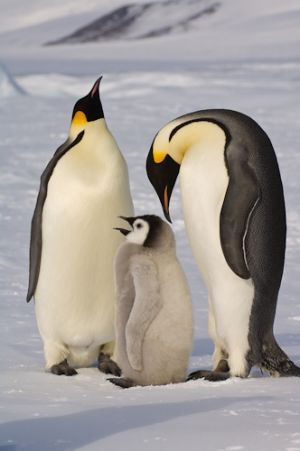 Emperor penguins and chick.