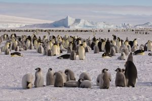 Emperor penguin colony at Snow Hill Island.