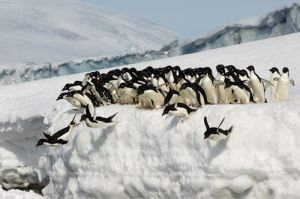 Adelie penguins leaping into the ocean.
