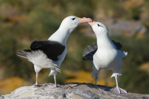 Black-browed albatross courting pair; Falkland Islands.
