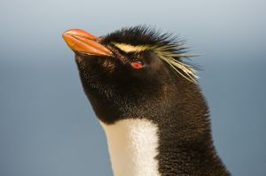Rockhopper penguin; Falkland Islands.