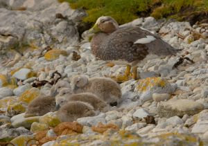 Falkland flightless steamer duck (female) with chicks, Falkland Islands.