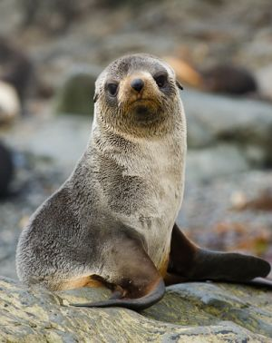 Young Antarctic fur seal, South Georgia.