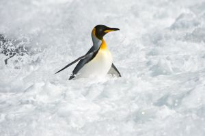 King penguin in surf; South Georgia.