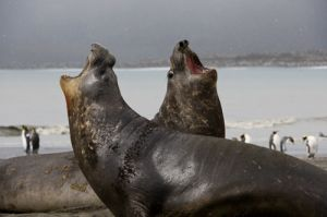 Southern elephant seals; St. Andrews Bay, South Georgia.