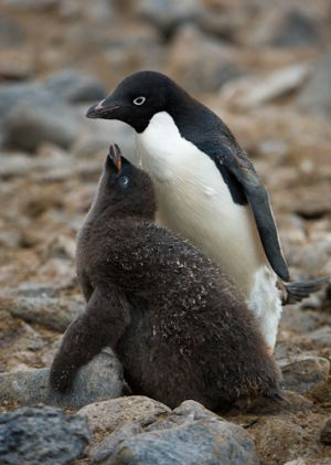 Adelie penguin and chick.