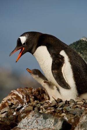 Gentoo penguin and chick at nest site.