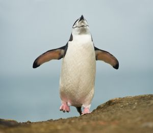 Chinstrap penguin.