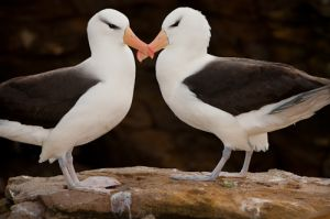 Black-browed albatross, courting pair, Falkland Islands.