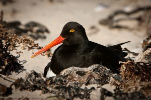 Magellanic oystercatcher on nest, Falkland Islands.