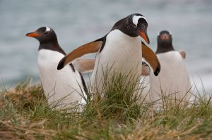 Gentoo penguins coming from ocean, Falkland Islands.