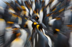 King penguins; South Georgia Island.