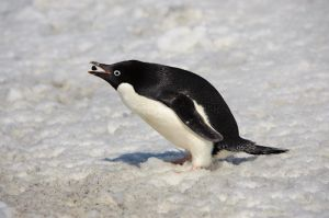 Adelie penguin picking up pepple for nest.