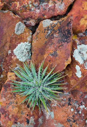 Agave and lichened rocks
