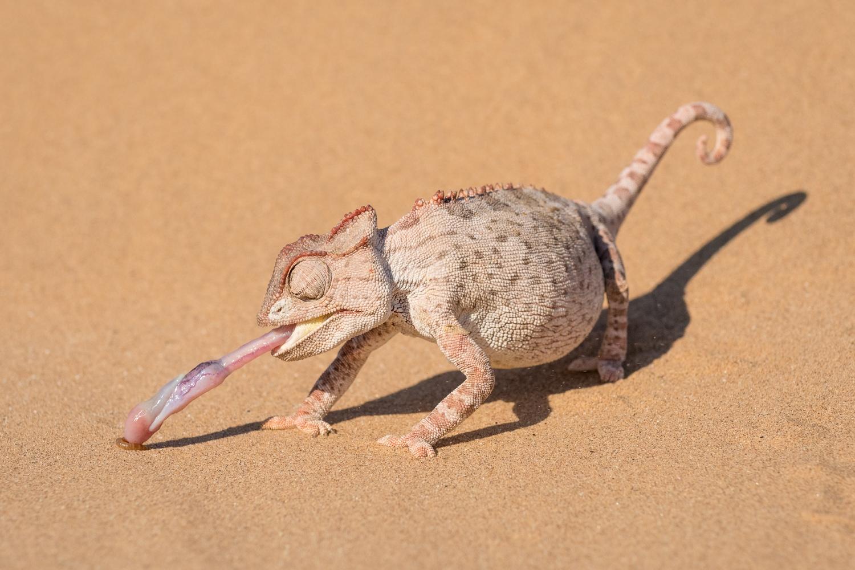 Namaqua chameleon, Namibia.