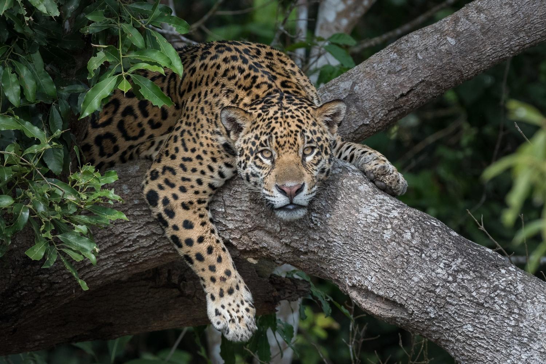 Jaguar in tree, Pantanal, Brazil.