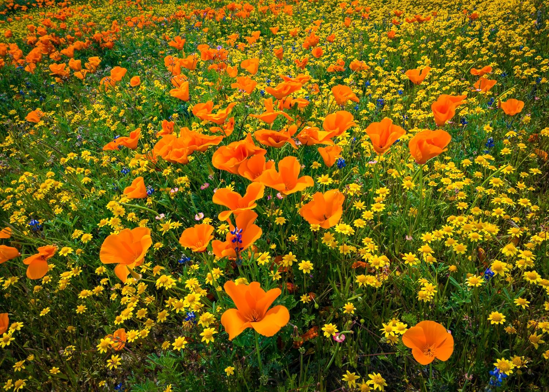 California poppies and goldfields, Mojave desert, California.