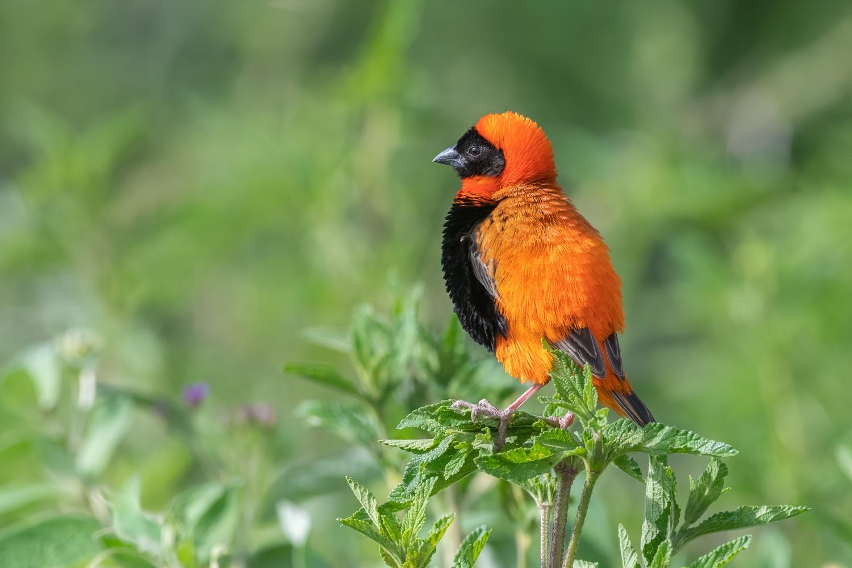 Red bishop, Tanzania.