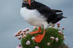 Atlantic puffin, Iceland.