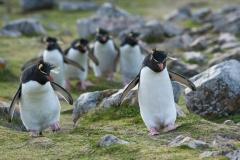 Rockhopper penguins, Falklands.