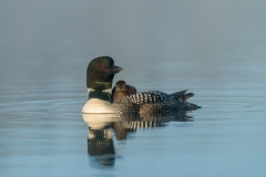 Common loon with chick, British Columbia.