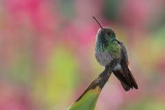 Rufous-tailed hummingbird, Costa Rica.