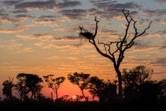 Jabiru stork at nest, Brazil.