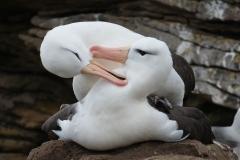 Black-browed albatross, Falklands.