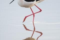 Black-necked stilt, Arizona.