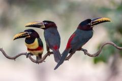 Chestnut-eared aracari, Pantanal, Brazil.
