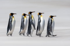 King penguins on sandy beach, Falklands.