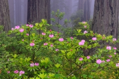 Rhododendron and redwoods, California.