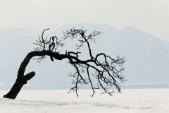 Contorted tree, Lake Kussharo, Japan.