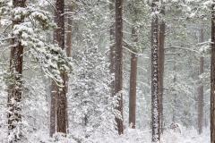 Ponderosa pines in blizzard, Oregon.