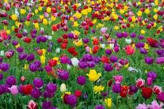 Tulip field, Oregon.